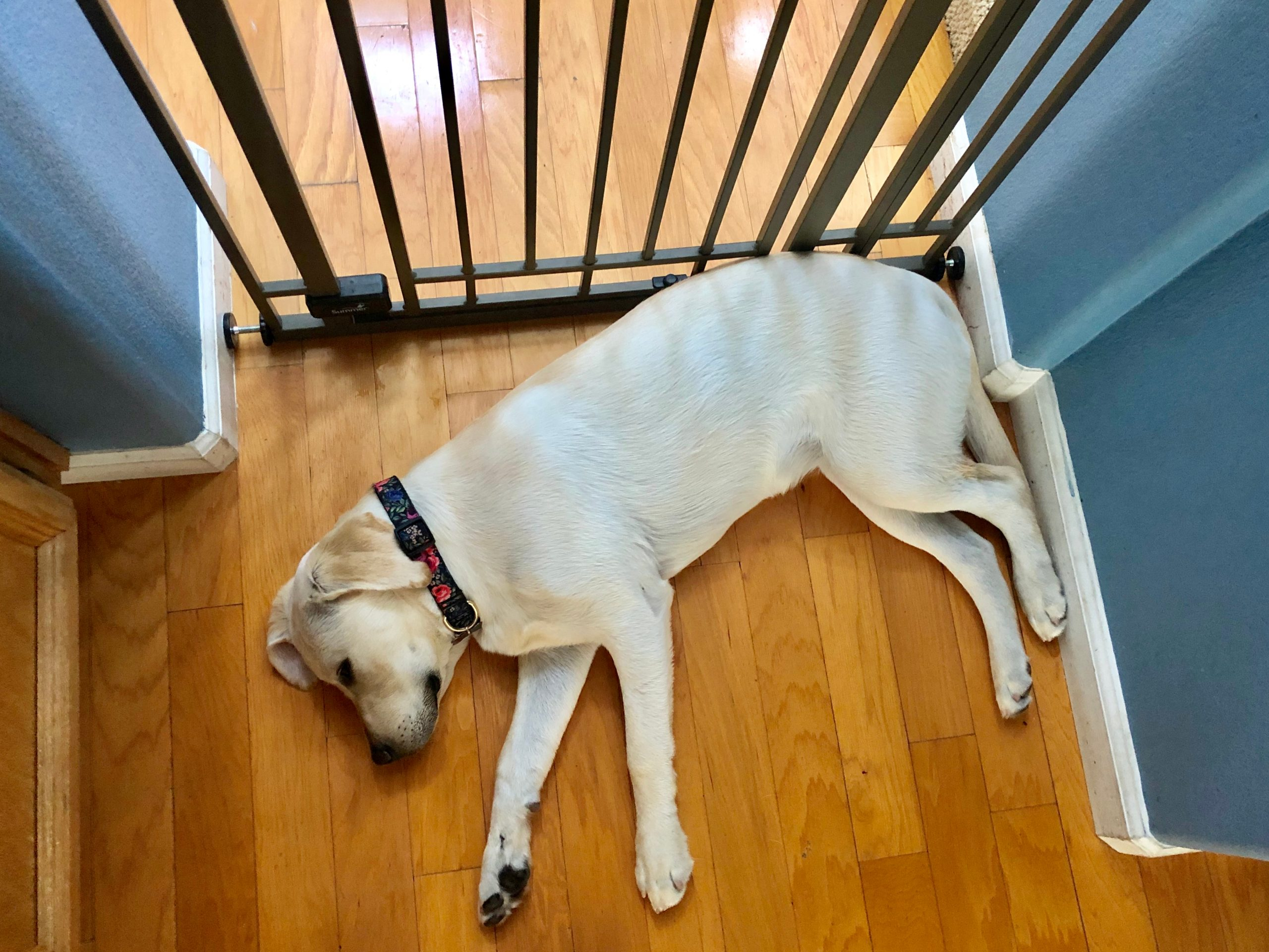 Puppy Inside Gate